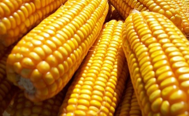 玉米的图片